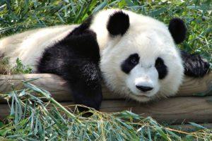 Google Panda Image